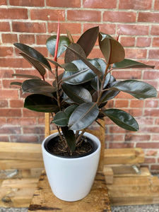 9.5-inch Rubber Plant