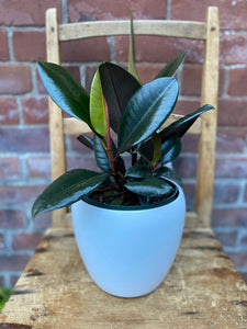 6-inch Rubber Plant (optional choice of pot)