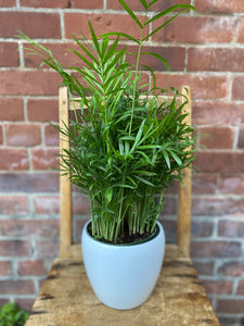6-inch Parlour Palm (optional choice of pot)