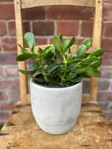 6-inch Jade Plant (optional choice of pot)