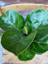 Load image into Gallery viewer, Mini Fiddle-Leaf Fig with Two-tone Concrete Pot