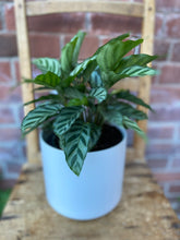 Load image into Gallery viewer, 6-inch Calathea Billie (optional choice of pot)