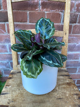 Load image into Gallery viewer, 6-inch Calathea Medallion (optional choice of pot)
