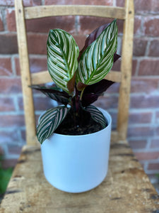 6-inch Calathea Pinstripe (optional choice of pot)