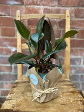 Load image into Gallery viewer, 6-inch Rubber Plant