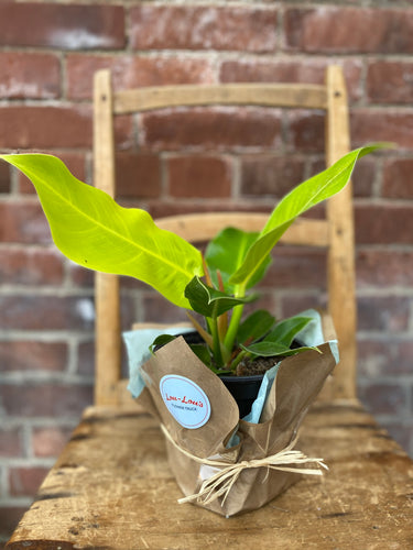 6-inch Neon Moonlight Philodendron (optional choice of pot)