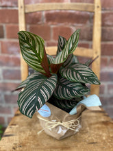 Load image into Gallery viewer, 6-inch Calathea Pinstripe (optional choice of pot)