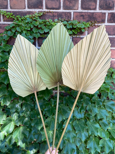 Anahaw Dried Palm Leaves (3 stems)