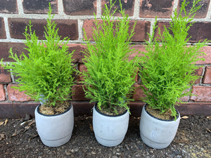 4-inch Cypress (Set of 3) in choice of concrete pot