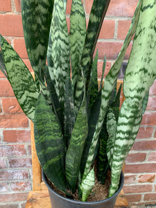 9-inch Green Snake Plant