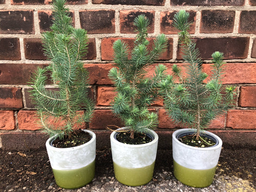 4-inch Italian Stone Pine (Set of 3) in choice of concrete pot