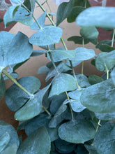 Load image into Gallery viewer, Fresh Eucalyptus Bunch (15 Giant Stems)
