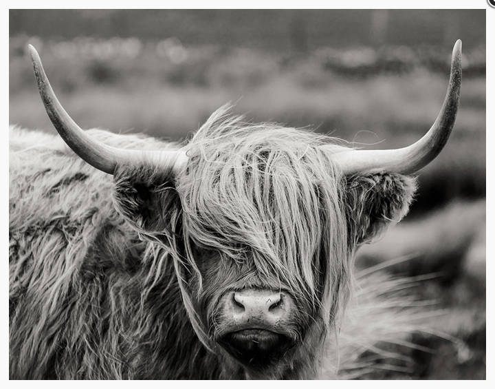 Fringe Friday Bovine