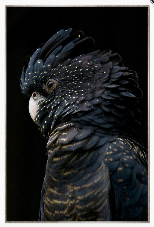 Midnight Black Cockatoo
