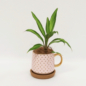 Desktop Cordyline | Indoor Plants | Plant Gifts | The Potted Garden
