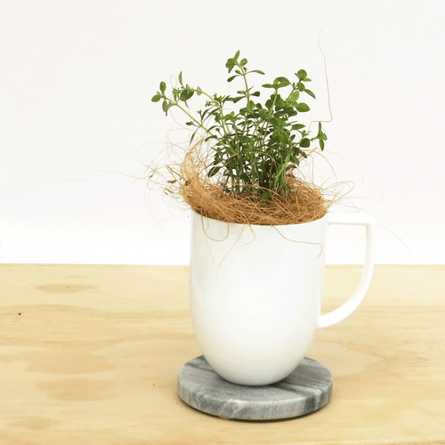 Thyme Kitchen Sill Plant