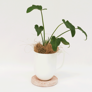 Desktop Philodendron Xanadu | Indoor Plants | Plant Gifts | The Potted Garden