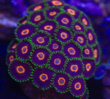 Load image into Gallery viewer, Jawbreaker Hornet Zoanthid