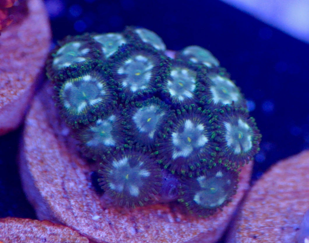 Army Star Zoanthid
