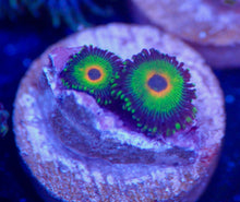 Load image into Gallery viewer, Rasta (Electric) Zoanthid