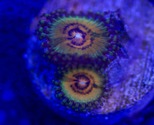 Load image into Gallery viewer, Copperhead Zoanthid
