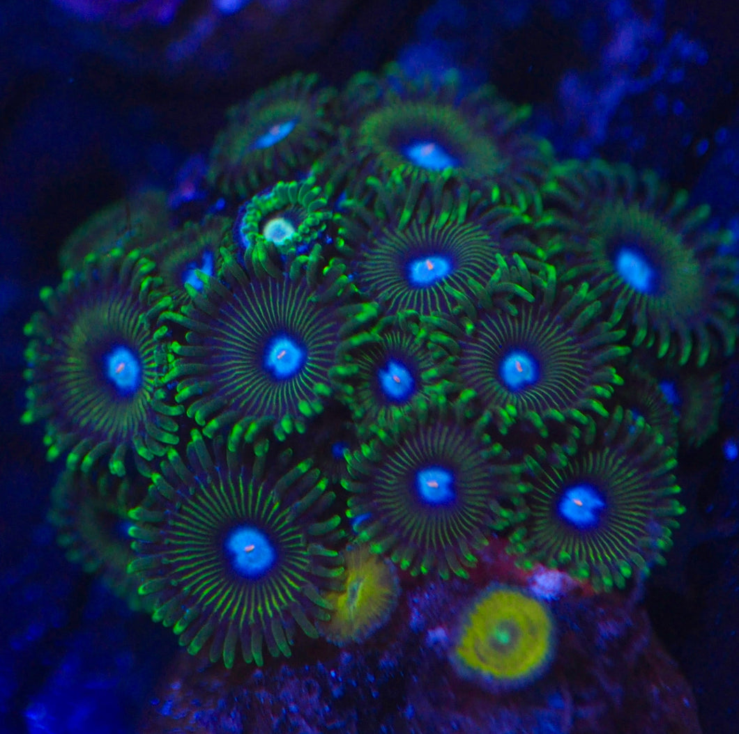 Ice Kings Zoanthid