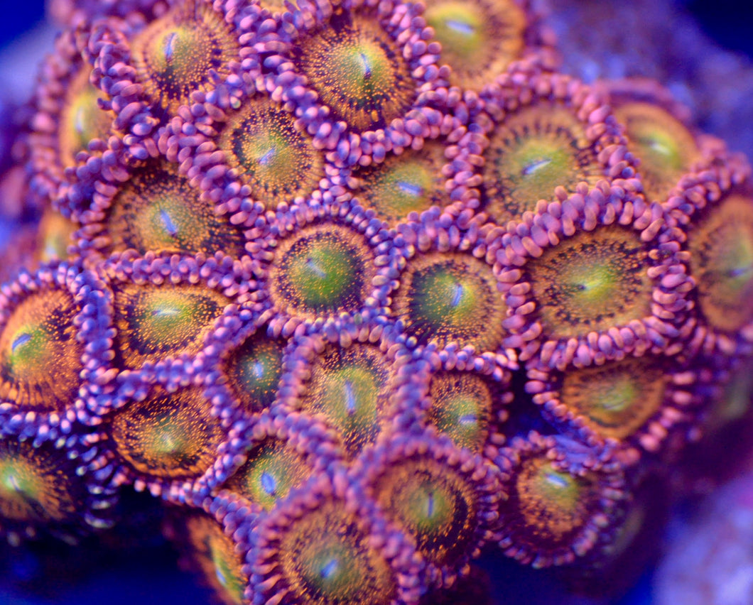 Alien Antivenom Zoanthid