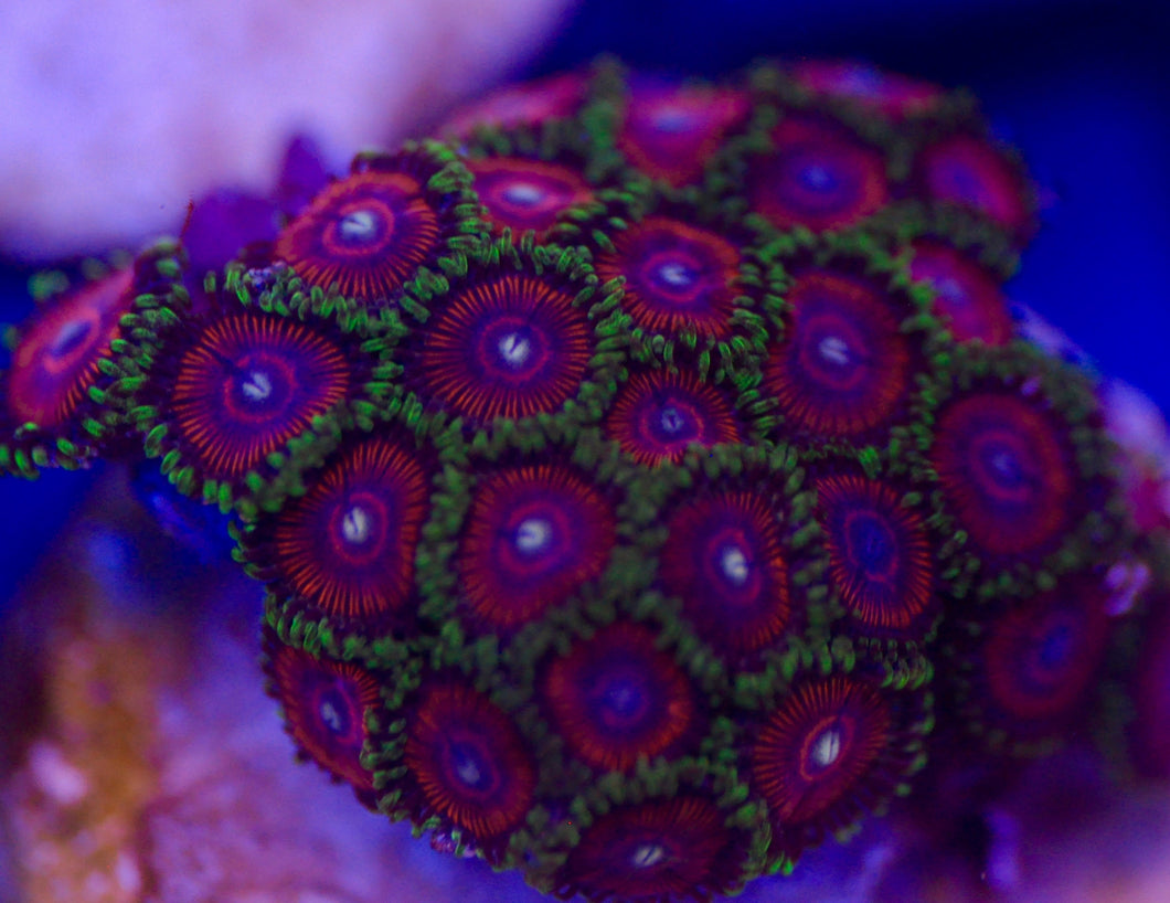 CB Cherry Sours Zoanthid