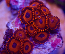 Load image into Gallery viewer, Deepwater Safecracker Zoanthid