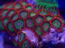 Load image into Gallery viewer, Emeralds On Fire Zoanthid
