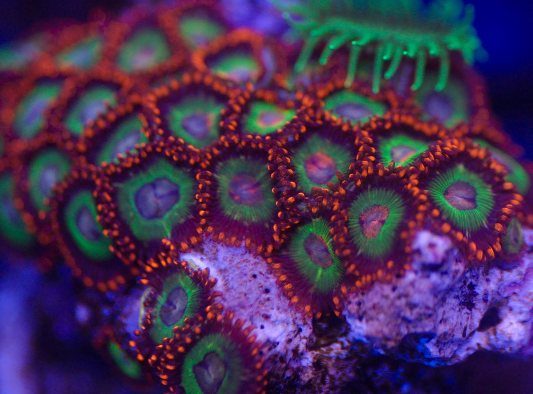 Emeralds On Fire Zoanthid