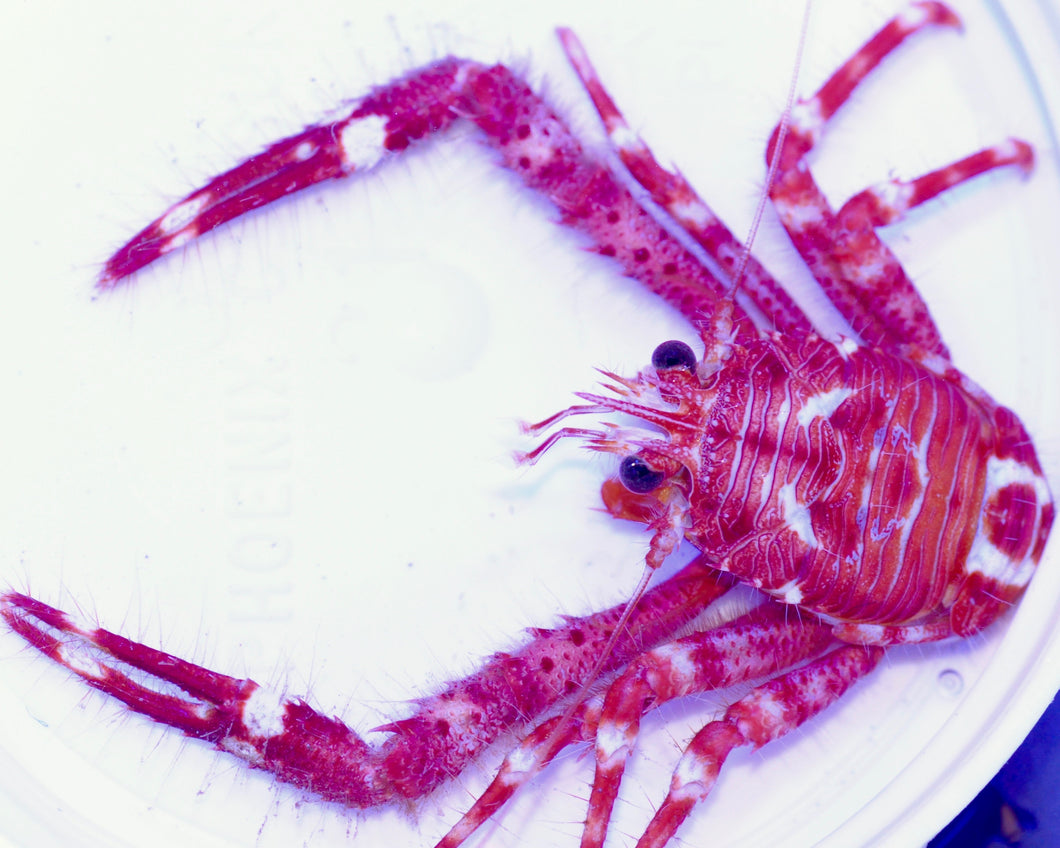 Red Squat Lobster