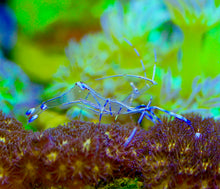 Load image into Gallery viewer, Pederson Anemone Shrimp
