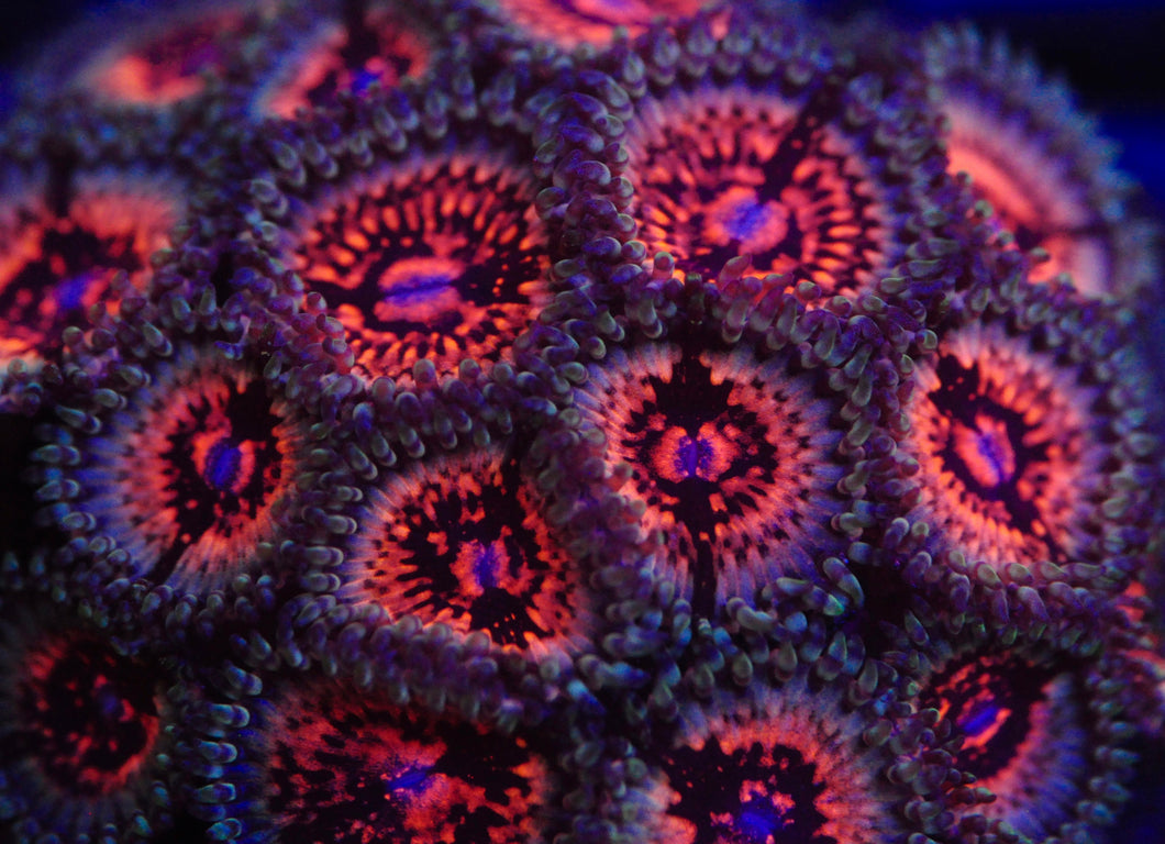 Space Panthers Zoanthid