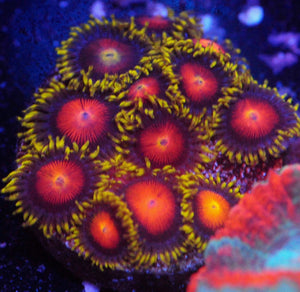 Yellow Brick Road Zoanthid