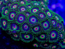 Load image into Gallery viewer, Rasta (Pastel) Zoanthid