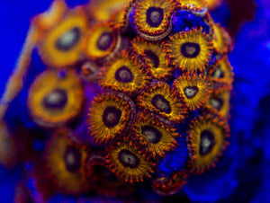 Tweety Bird Zoanthid
