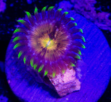 Load image into Gallery viewer, Nirvana Zoanthid