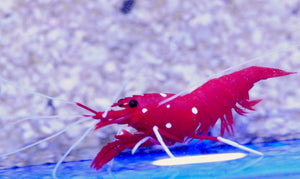 Blood Shrimp