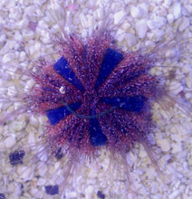 Load image into Gallery viewer, Tuxedo Urchin