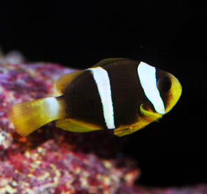 Blue Striped Clown Captfve Bred