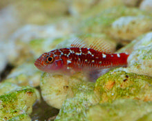 Load image into Gallery viewer, Biota Trimma Caesiura Goby
