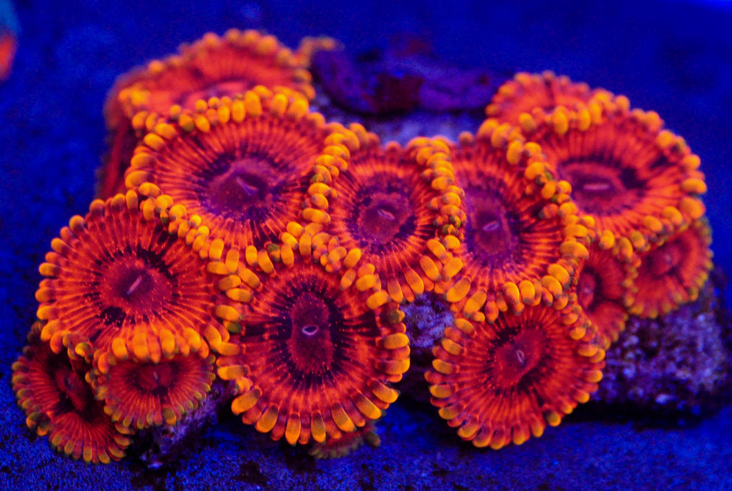 Burning Embers Zoanthid