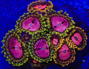 RR Pink Diamonds Zoanthid