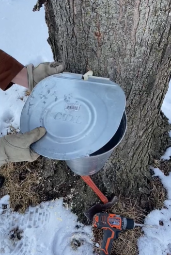 Botany Lesson 10: How to Make Maple Syrup
