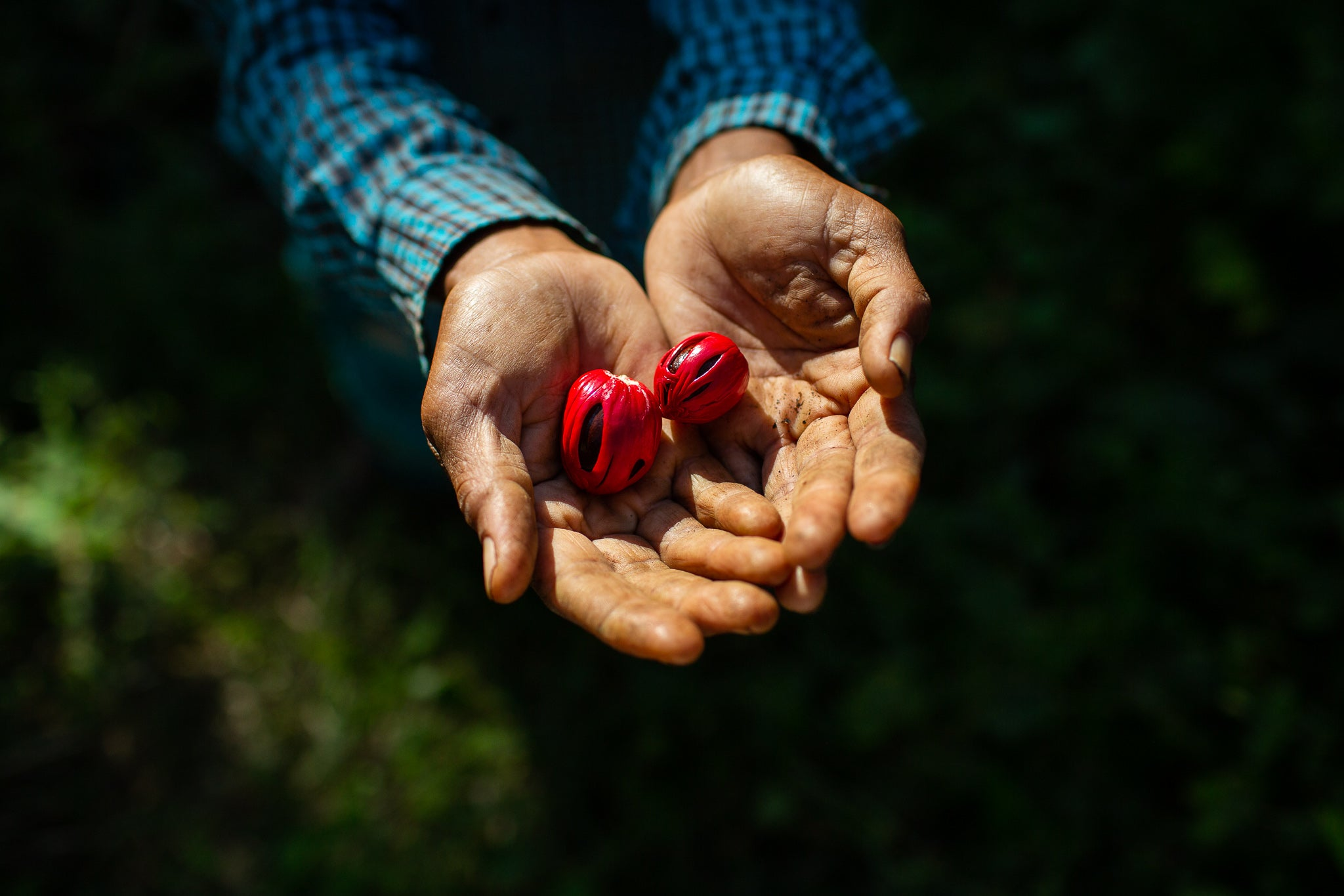 Hands holding two nutmeg-mace pods (bright reddish-pink mace wraps around dark inner nutmeg)