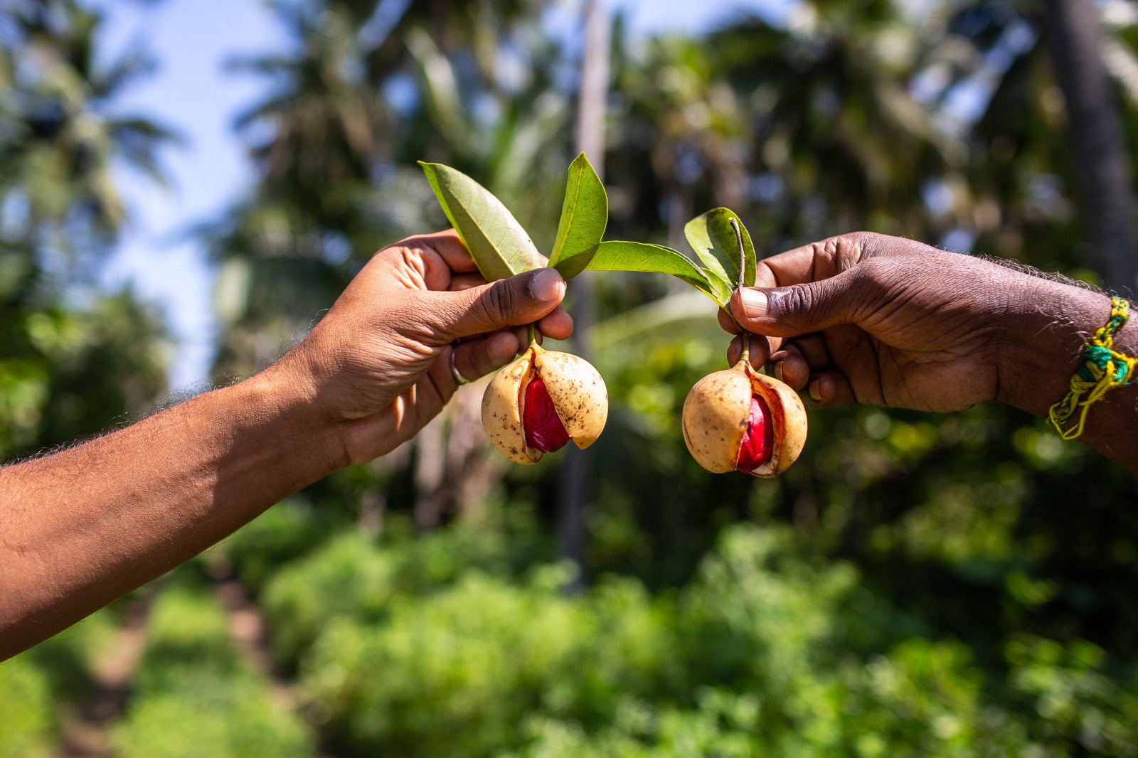 Two hands holding out nutmeg-mace seed pods (like bells hanging from the leaves)