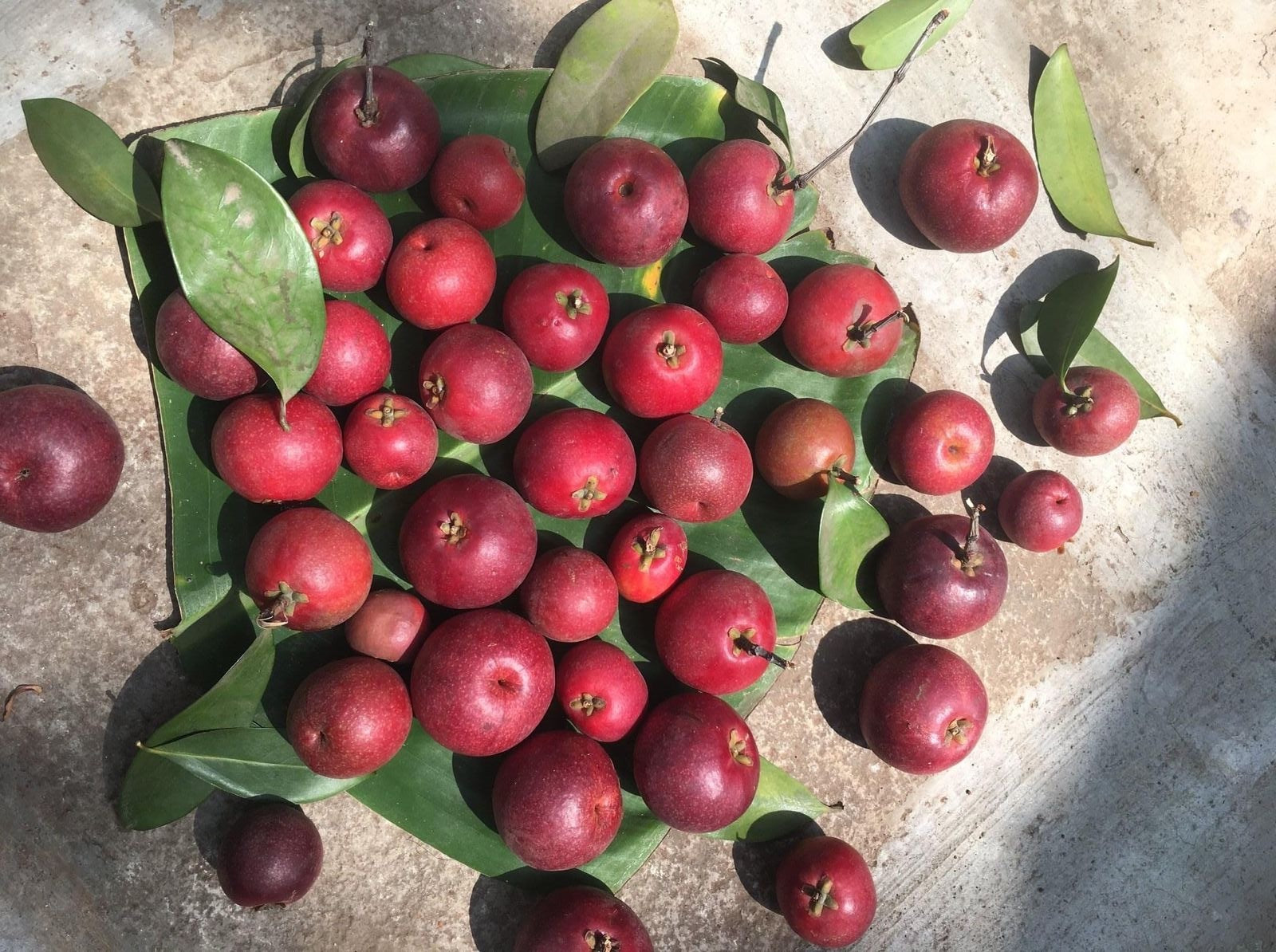 Kokum fruits spread out on leaves