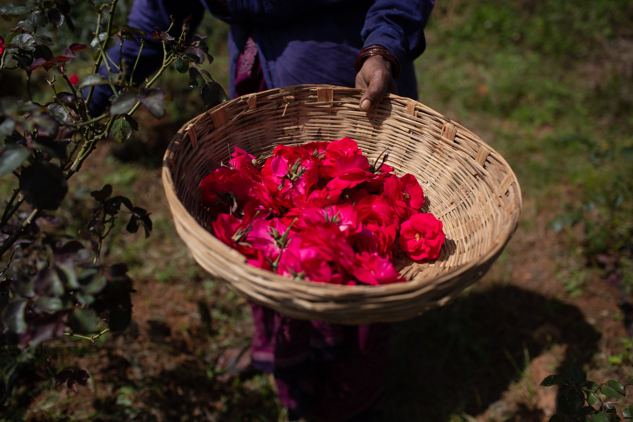 A basket full of just harvested Panneer roses