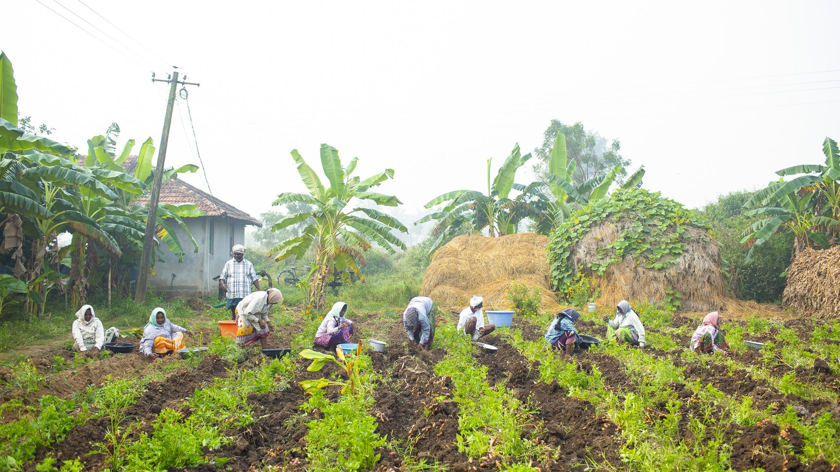 Farmers gathering turmeric
